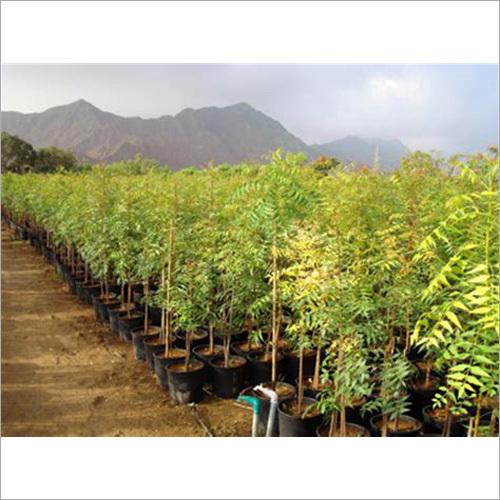 Hebbavu Neem Plant