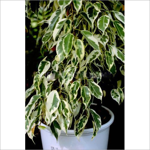 Ficus Benjamina Starlight Plant