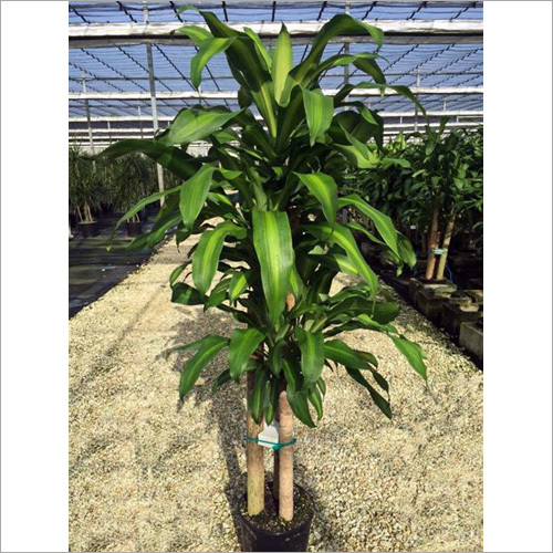 Artificial Dracaena Plant