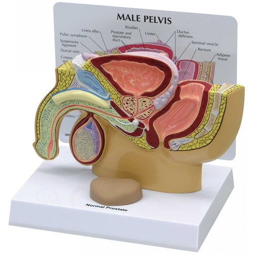 Human Male Prostate Model