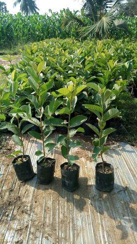 Thailand 1 kg Guava Plant