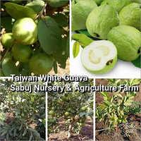 Taiwan White Guava Plant