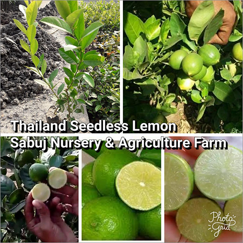 Thailand seedless Lemon PLant