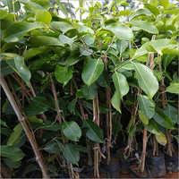 Thailand Jamun Plant