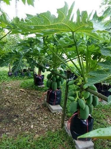 Taiwan Red Lady Papaya Plant