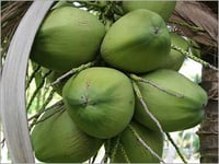 Tender Green Coconut