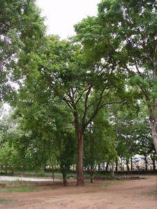Pterocarpus Marsupium Tree Seed (Vijayasar Tree Seed)