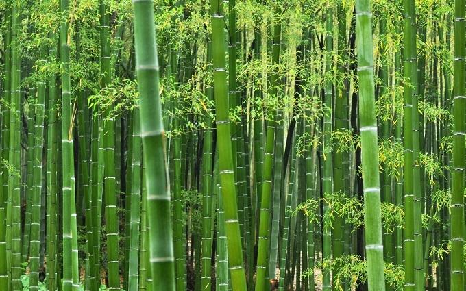 Bambusa Bamboo Tree Seed