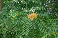 Ailanthus Excellsa Tree Seed