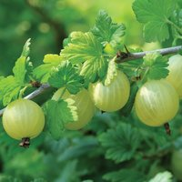Indian Gooseberry Tree Seed