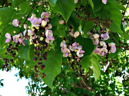 Pungamia Pinnata Tree Seed