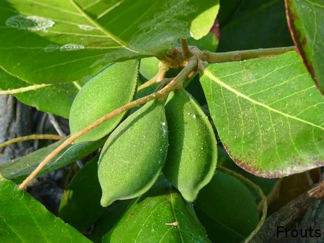 Terminalia Catappa (Indian Almond Tree)