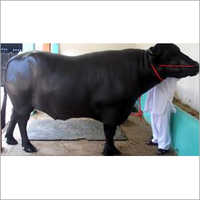 Murrah Bull Supplier India