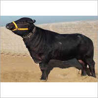 Murrah Bull Trader Haryana