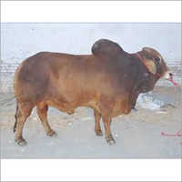 Sahiwal Bull Supplier India