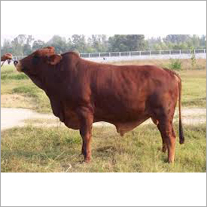 Sahiwal公牛贸易商印度