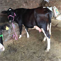 Milking HF Cow Trader India