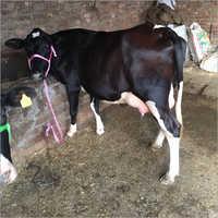 Milking HF Cow Trader India