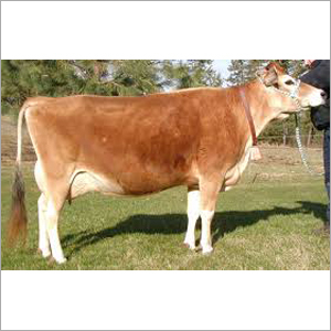 Jersey Cow Supplier karnal