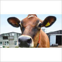 Jersey Cow Supplier Maharashtra