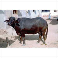 Haryana Buffalo Supplier Karnal
