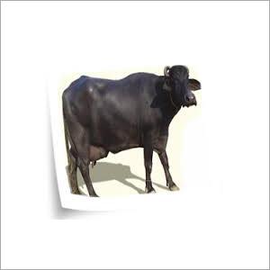 Haryana Buffalo Trader