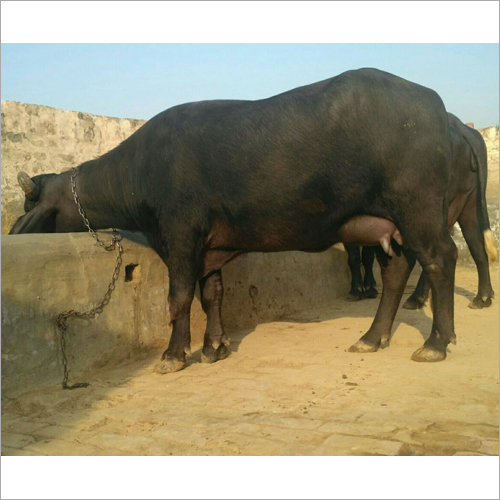 Murrah Buffalo Supplier Tamil naidu