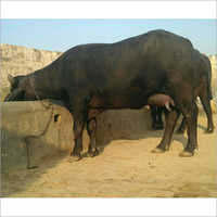 Murrah Buffalo Supplier Tamil naidu