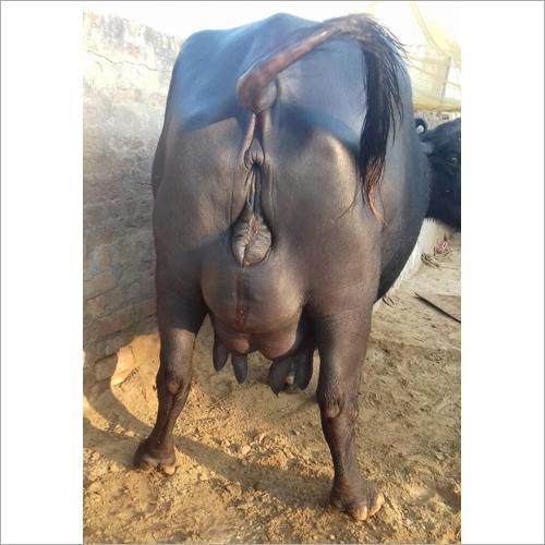 Murrah Buffalo Trader Maharashtra