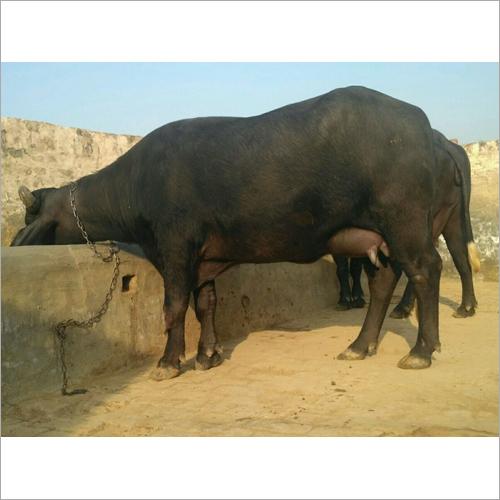 Murrah Buffalo Trader Tamil naidu