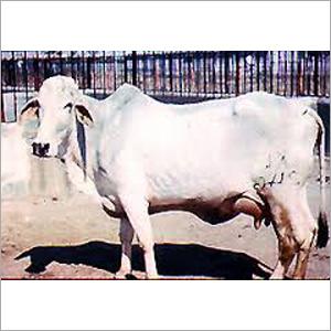 Tharparkar Cow Supplier Gujarat