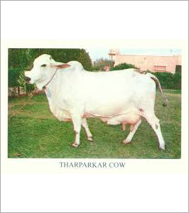 Tharparkar Cow Supplier India