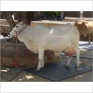 Tharparkar Cow Supplier Karnal
