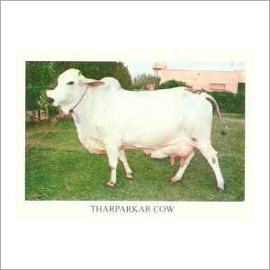 Tharparkar Cow Trader India
