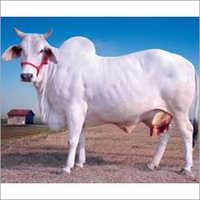 Tharparkar Cow Trader Tamil Naidu
