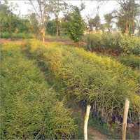 Amla Tree