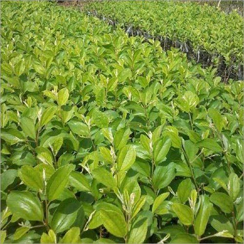 Ber Plants