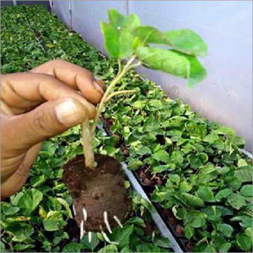 Growing Saplings Plants