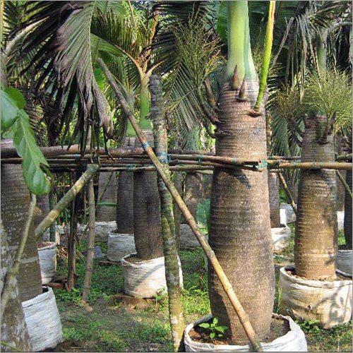 Sampian Palm