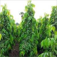 Ashoka Pendula Tree