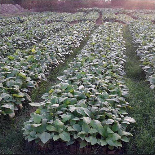 Burma Teak Plant