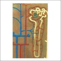 Model Of Human Nephron