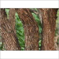 Khair Kattha Tree