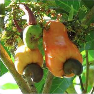 Imported Raw Cashew
