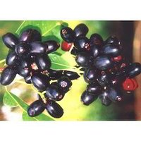 Jamun Seed Extracts
