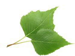 Birch Leaf Extract