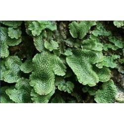 Liverwort Extracts