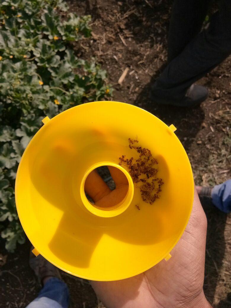 Cucurbit Insects Trap