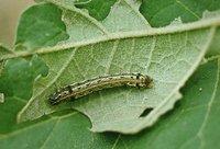 Spodoptera Litura Pheromone Lure