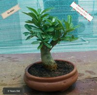 Bonsai Plant -  Adenium Red